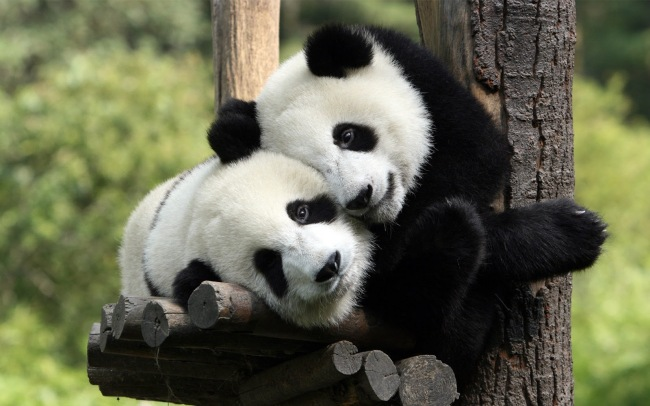 pandas_in_love_1920x1200-wallpaper
